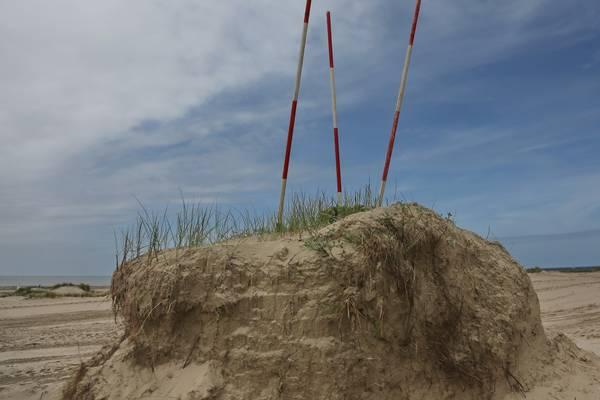 Beschermde Blauwe Zeedistel Krijgt Eilandjes In IJmuiden